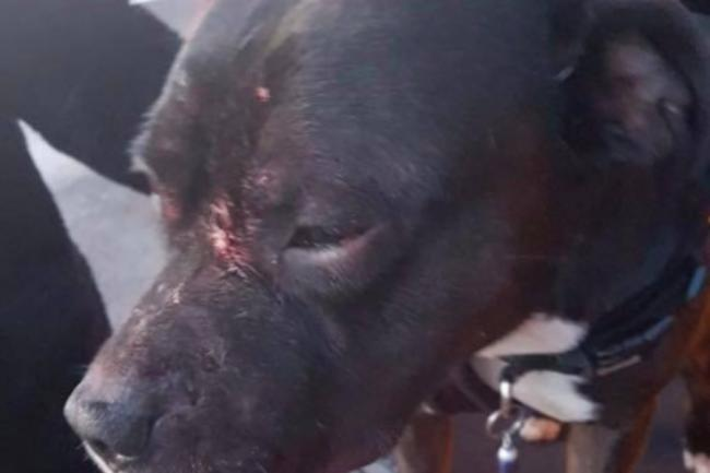 Banned South African dog in vicious park attack on young couple