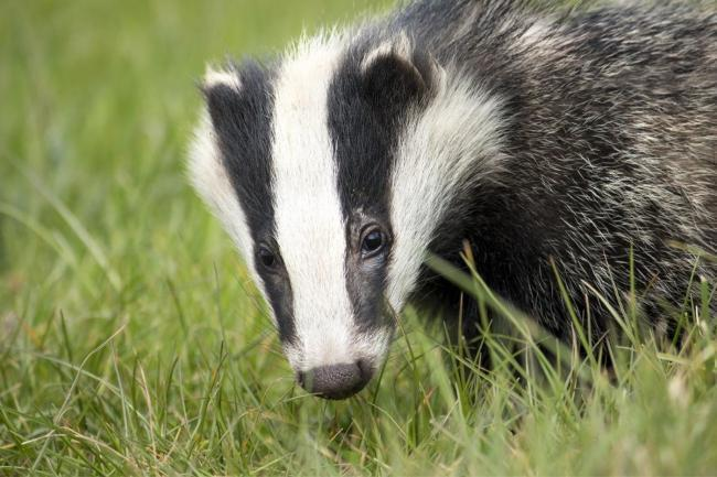 Dog 'severely' injured after warped Motherwell man sends it down badger-baiting sett