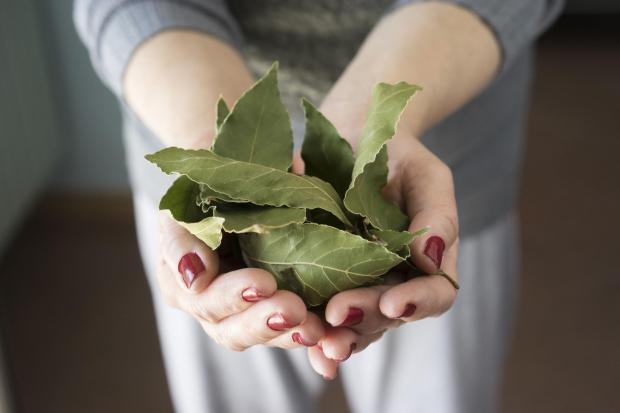 Glasgow Times: Generic photo of a woman holding some bay leaves. See PA Feature GARDENING Advice Herbs. Picture credit should read: iStock/PA. WARNING: This picture must only be used to accompany PA Feature GARDENING Advice Herbs.