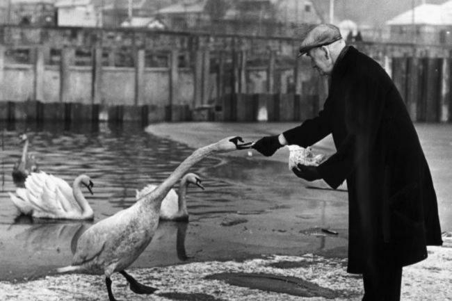 A gentleman feeding the birds at Bingham's Pond, 1955