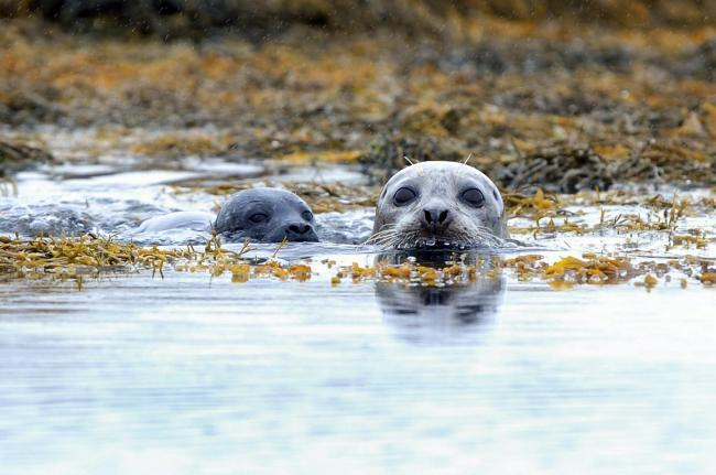 A crucial forum for the protection of seals has been abandoned as pressure grows to stop the mammals being shot in Scotland.