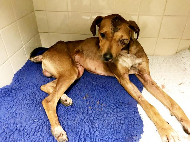 Dog barely alive after being burned and attacked with SCREWDRIVER